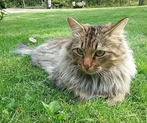 Kissa Kauluri